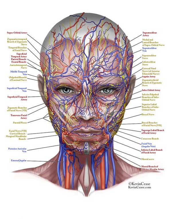 Anatomia Twarzy Dr Marek Wasiluk Medycyna Estetyczna Bez Tajemnic